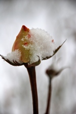 Frozen Buds (Photo M. Germana)