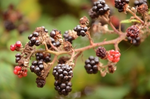 Berries (Photo M. Germana)