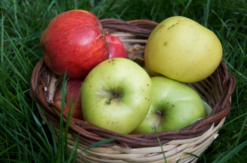 Freshly-foraged apples (Photo M. Germana)