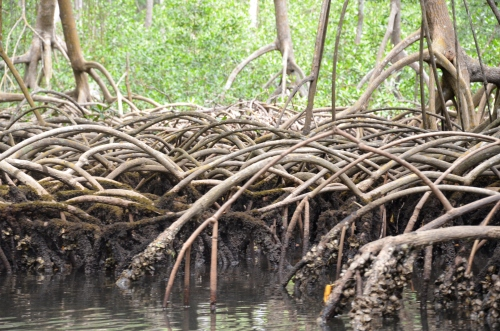 Mangrove roots (Photo M. Germana)
