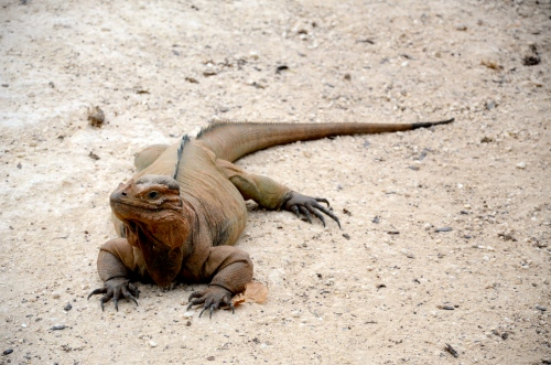 Iguana (Photo M. Germana)