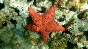 Giant Caribbean starfish (Photo M. Germana)